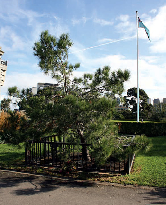 Figure 2. A 'Lone Pine' tree in the Shrine Reserve in Melbourne, planted on 24 April 2006